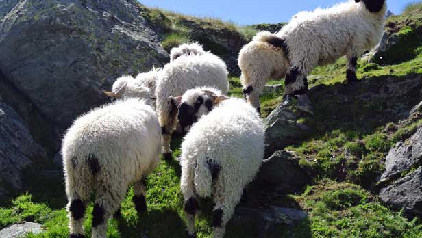 Herd of sheep on the Matterhorn Mountain in Switzerland