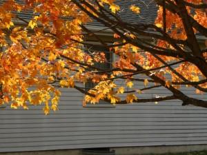 autum leaves on tree