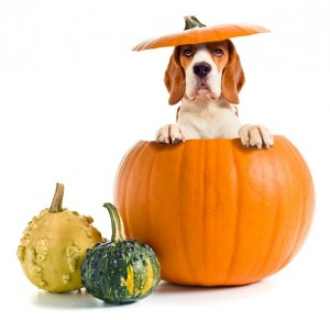 Beagle in a Pumpkin