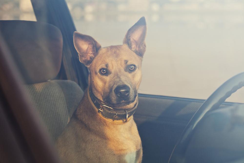 The Danger of Hot Cars dog