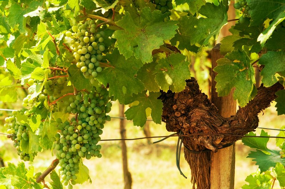 4 Vienna vineyard