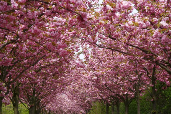 cherry blossom days 2015 travel events amp culture tips