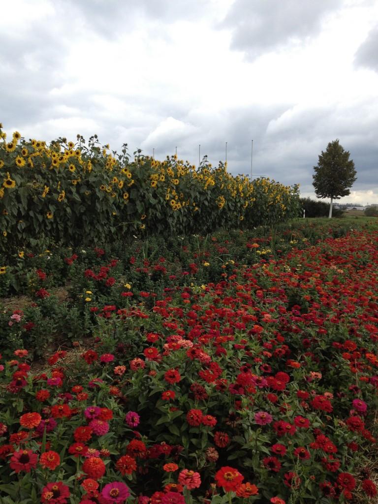 Blumen field