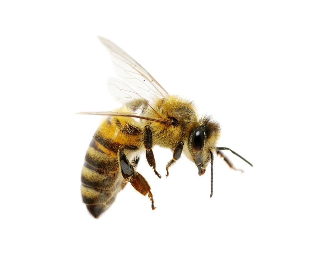 Dog Summer Bee