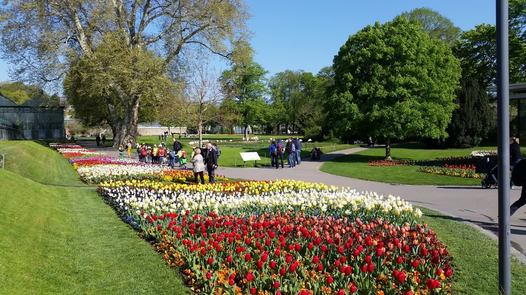Wilhema tulips