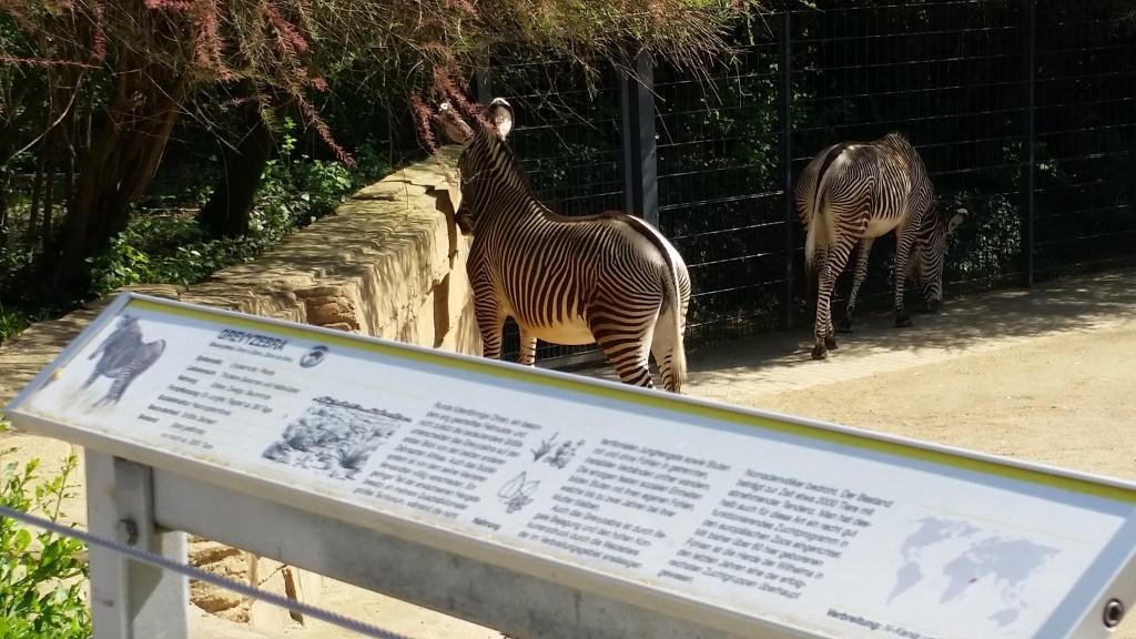Wilhema zebra