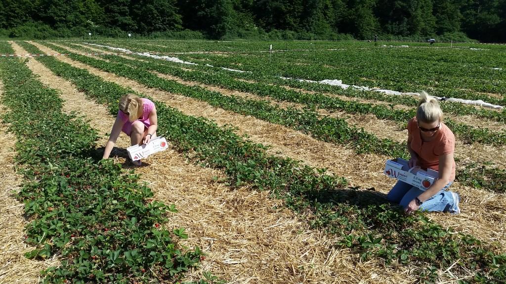 girls picking strawberries