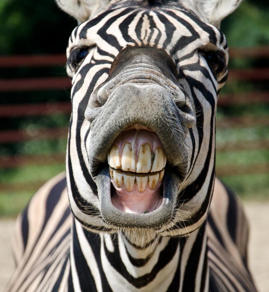 Zebra hammett79