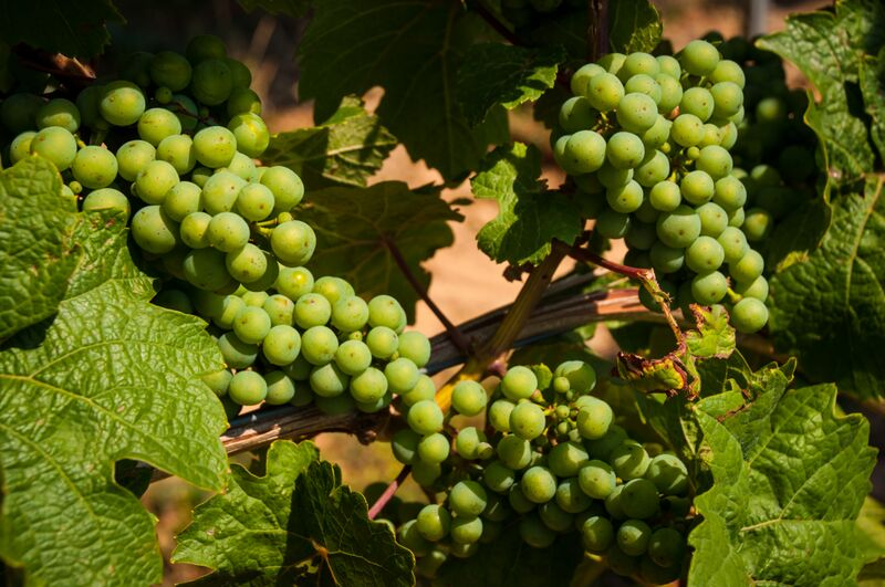 8 grapes 2 Gemma Horse and carriage ride