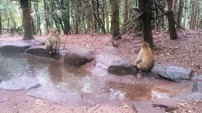 Monkey in water Kelly Monkey Mountain