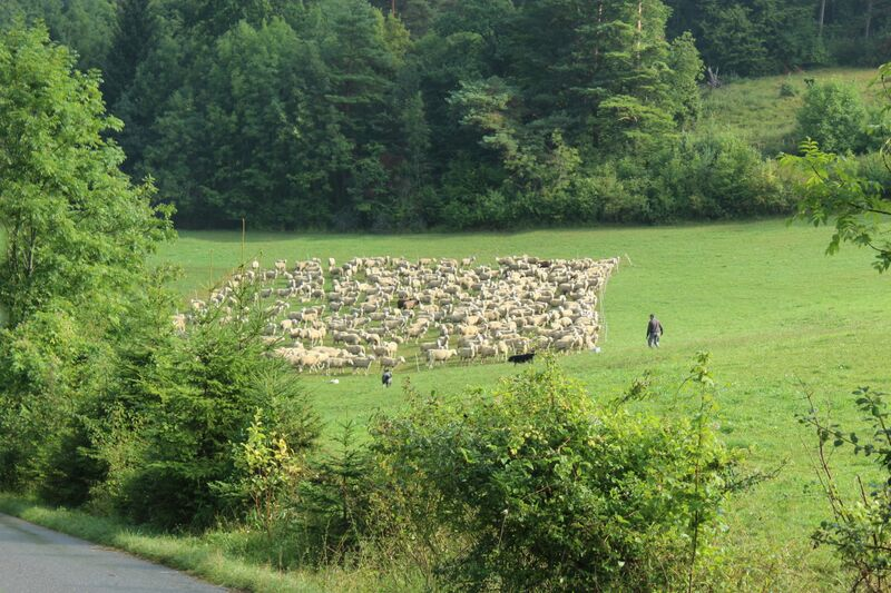 Sheep Wendy Mössingen's Apple Week