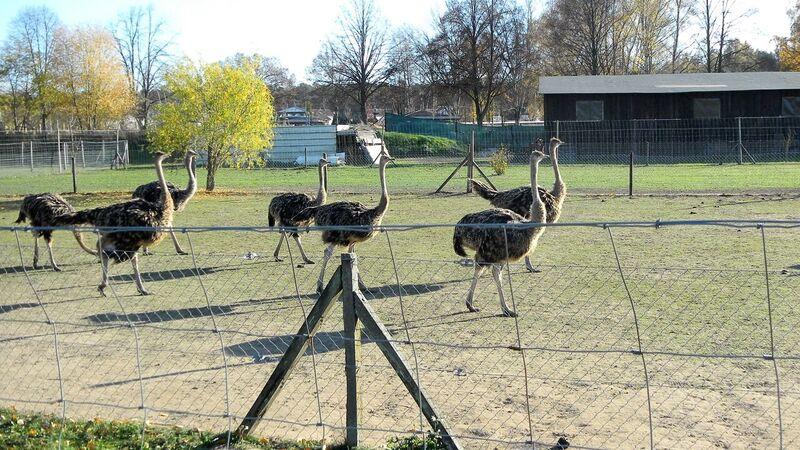 Farm juvenile ostrich Kelly Straussenfarm Mhou – An Ostrich Farm