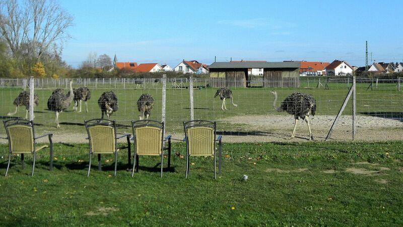Farm ostrich vierwing chairs Kelly Straussenfarm Mhou – An Ostrich Farm