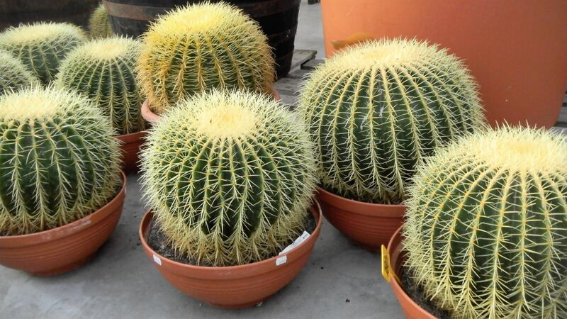 Kakteenland cacti round good light Kelly Kakteenland Steinfeld