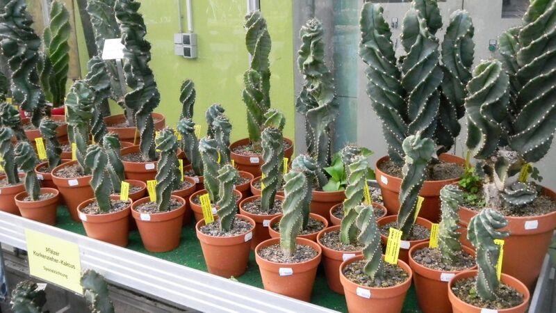 Kakteenland spiral cacti Kelly Kakteenland Steinfeld