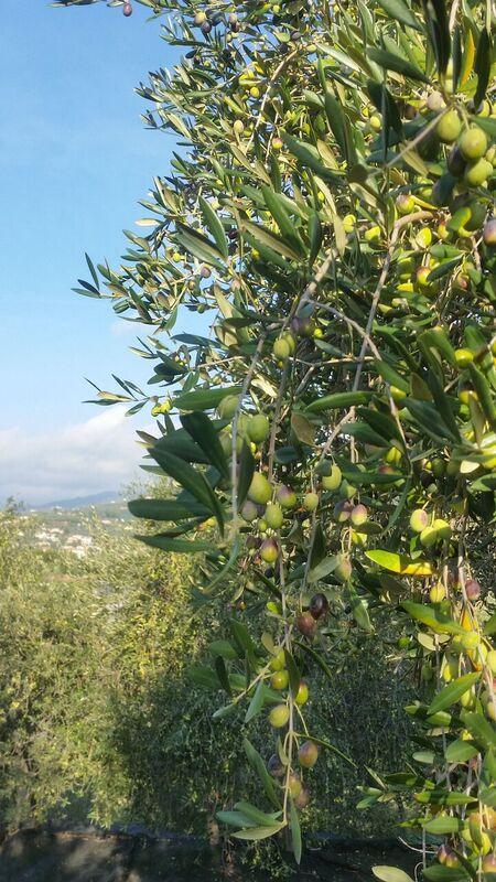 Olive Grove Wendy Italy's tasty treasures