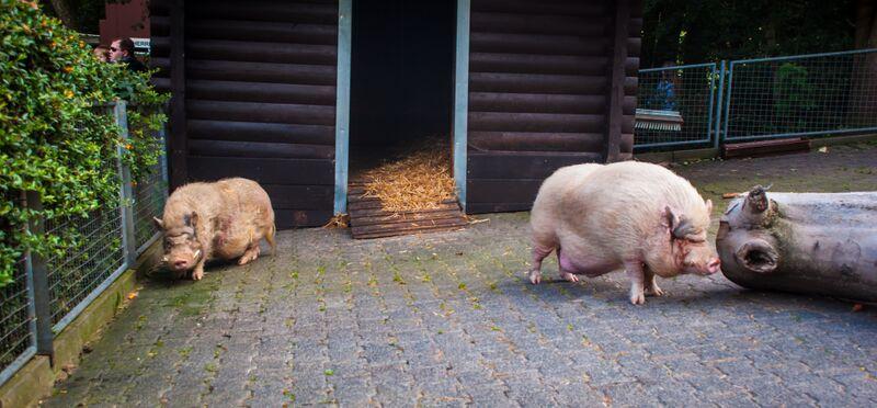 wild boars 1352 Gemma Opel Zoo