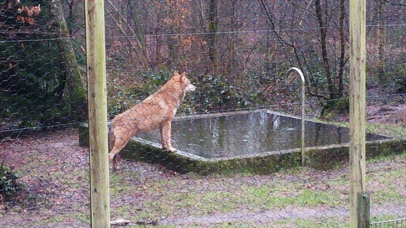 Wolf at Water Kelly Merzig Wolf Park 16