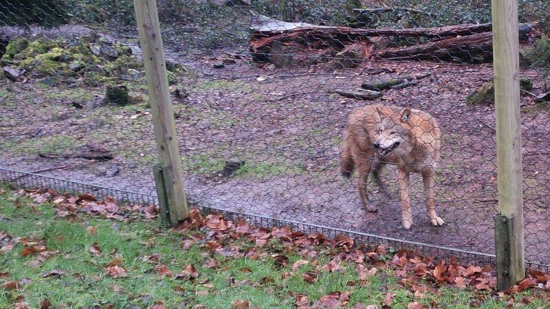 Wolf smiling Kelly Merzig Wolf Park 16
