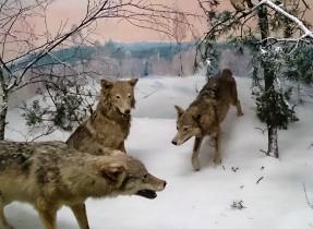 wolves in snow Kelly Senckenberg Musuem in Frankfurt 16