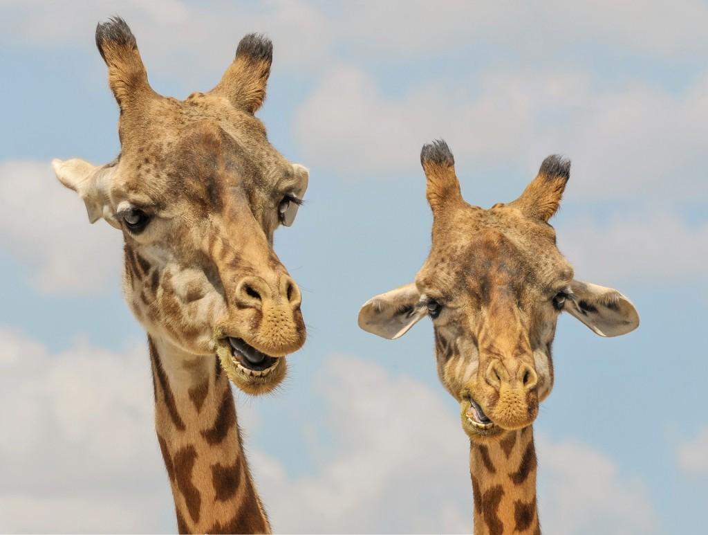 giraffe-901009_1920 birder62 Amusement Parks 16