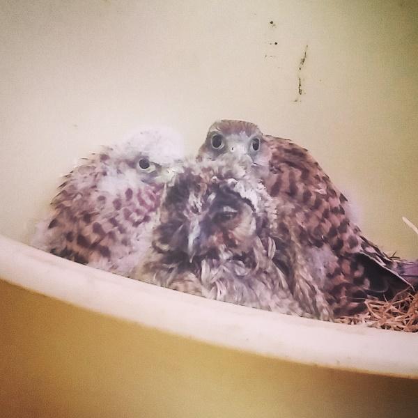 babies Gemma Niederwald Eagle Sanctuary July 16